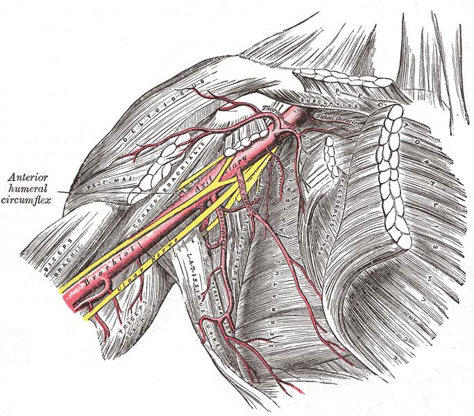 Плечо - это довольно сложный анатомический орган, обеспечивающий движение руки в различных плоскостях